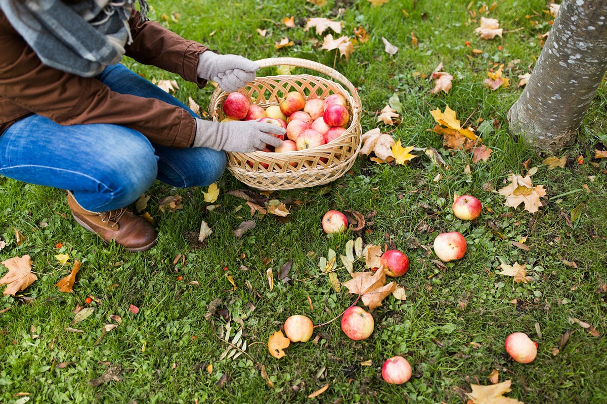 Harvesting fruit in Autumn